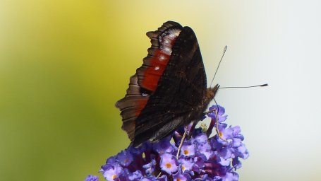 Бабочка на цветке. Фон для оформления личной страницы