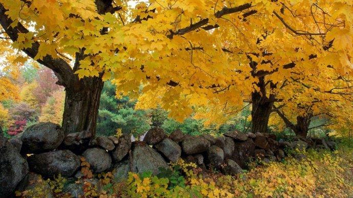 Осенний клен. Фон для оформления личной страницы