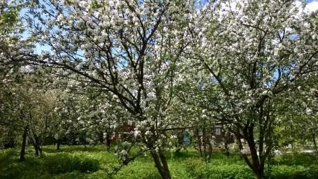 Яблони весной в цвету