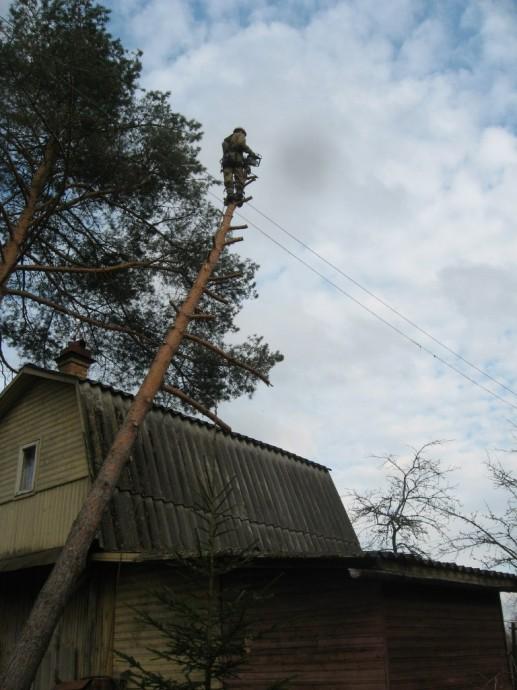 Валка деревьев частями в СПб и ЛО